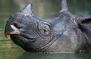 the rhinoceros has a penis about two feet long. picture 10