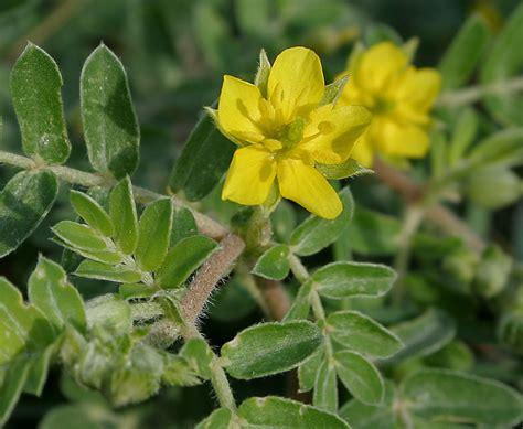tribulus testosterone wiki picture 3