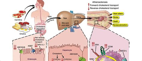 Carnitine reduces ldl cholesterol picture 1
