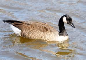 do geese have h picture 18