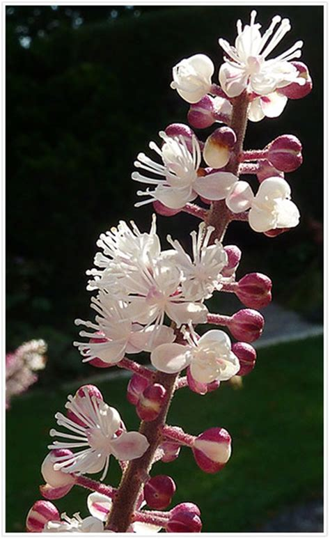 does black cohosh work picture 5