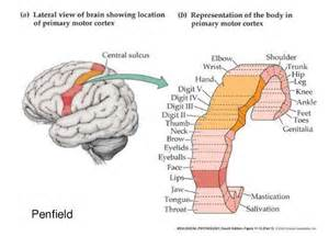 cerebral blood flow motor cortex picture 7