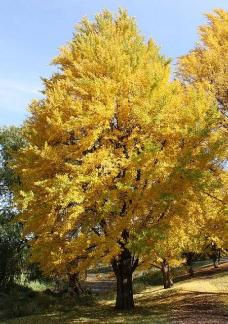 growing ginkgo tree picture 6