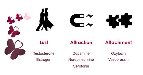 testosterone and estrogen in lust picture 3