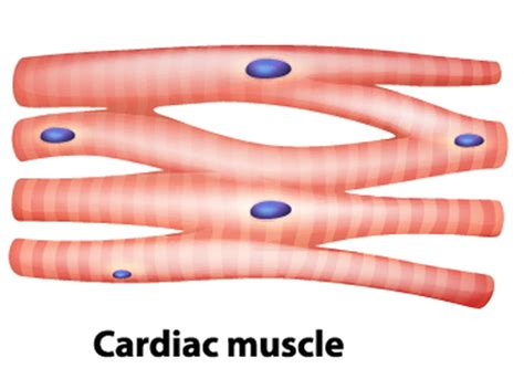 cardiac muscle cells are picture 1