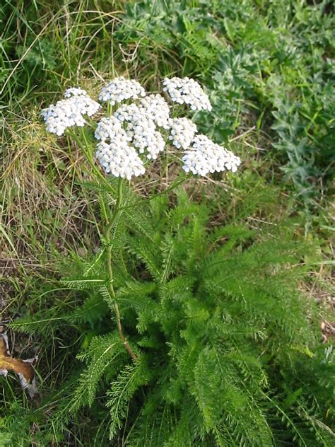 yarrow picture 3