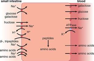 amino acids for blood flow picture 2