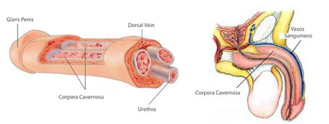 male blood flow picture 2