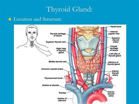 what is the shape of the thyroid gland picture 2