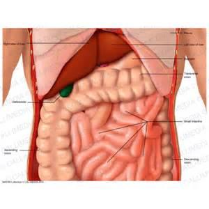 anatomy gall bladder picture 13