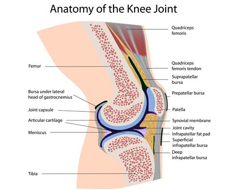 anatomy of knee joint picture 3