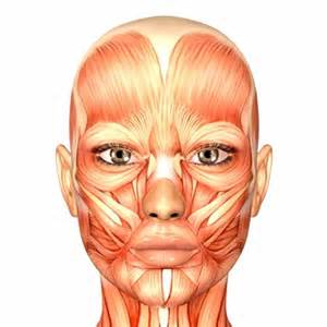 face muscle picture 19