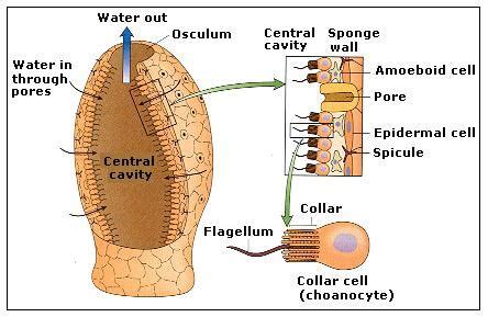 chelicerata locomotion digestion circulation respiration excretion picture 12