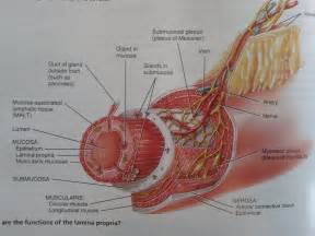 Porcine intestinal submucosa supplementation and weak ligaments picture 1