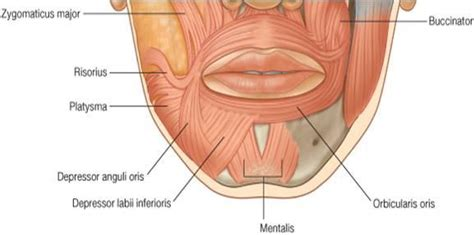 facial anatomy lips picture 9