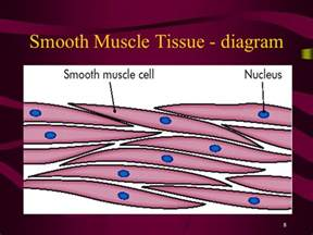 are smooth muscle multinucleated and spindled picture 13