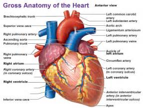 Blood flow to front of heart picture 2