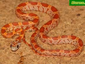 corn snakes h picture 6