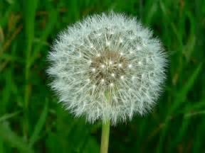 dandelion flower picture 2
