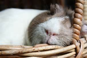 guinea pigs put to sleep picture 5