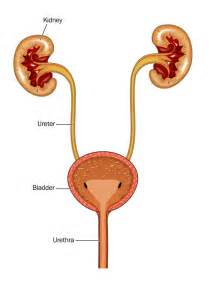 bladder inflamation picture 1