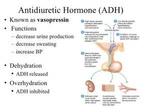 antidiuretic hormone and oxytocin are stored and released by the: picture 9