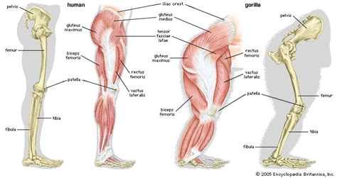calf muscle pulls picture 14