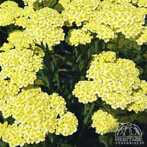 deadhead flowers yarrow picture 13