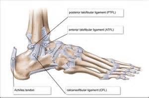 ankle joint diagram picture 14