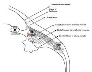 ciliary muscle picture 15