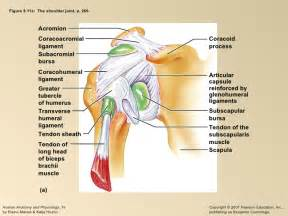 glenohumeral joint picture 3