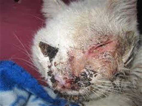 feline skin disorders picture 7