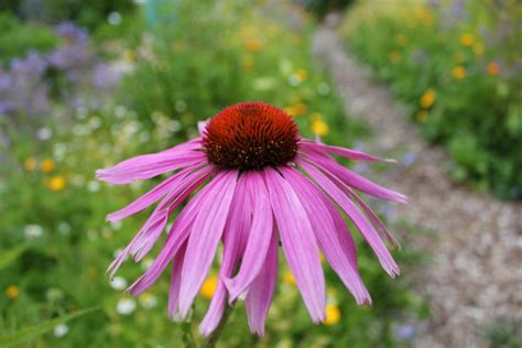echinacea and the common cold picture 14
