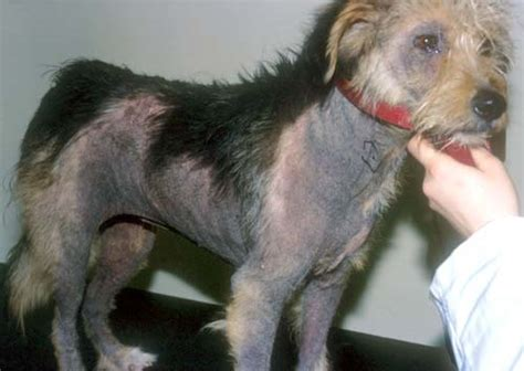 canine skin lesions picture 11