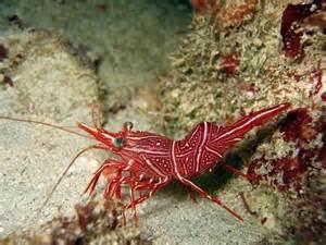 peppermint shrimp picture 7