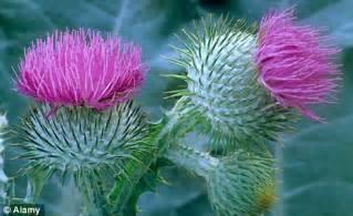 thistle plant picture 10