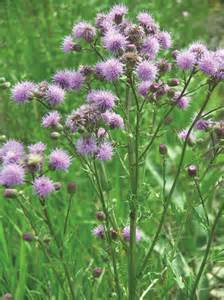 canadian thistle picture 3