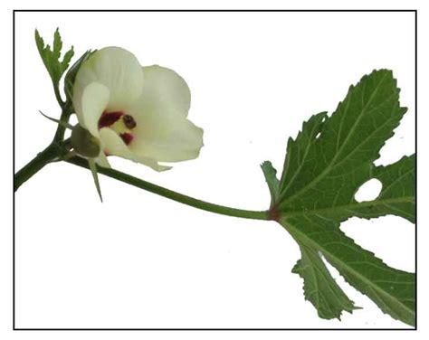 okra - philippine herbal medicine picture 1
