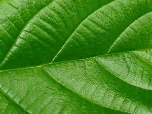 green leaf picture 1