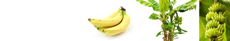 banana pseudostem starch picture 10