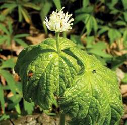 goldenseal picture 1