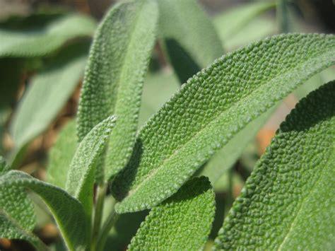 is diesel organic herbal salvia? picture 6