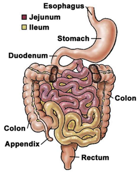 duodenum stomach colon picture 1
