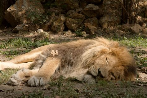 a lion was asleep picture 3