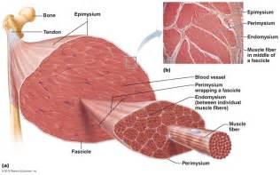 diagrams of skeletal muscle fiber picture 14
