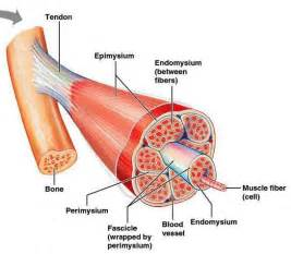 anatomy of skeletal muscle fiber picture 7