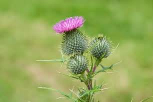 thistle picture 2