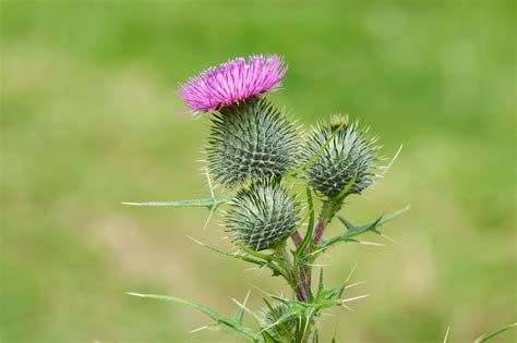 where to get organic thistle control picture 3