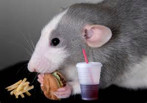 cholesterol studies in rats picture 19