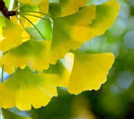 ginkgo picture 19